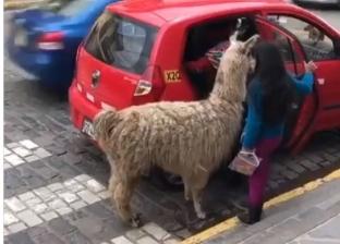 بالفيديو| حيوان لاما يستقل سيارة أجرة مع مالكته في بيرو