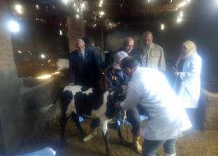تحصين 379799 رأس ماشية ضد الحمى القلاعية في المنوفية