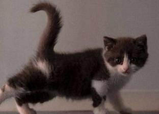 """شركة صينية تستنسخ قطة بـ 35 ألف دولار.. ومالكها: """"مقدرش استغنى عنها"""""""