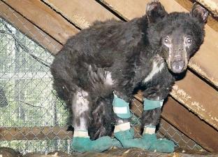 """الدب """"سيندر"""" ينجو من حرائق كاليفورنيا ليقتل على يد صياد"""