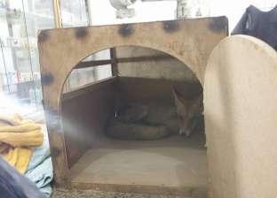 """إطلاق سراح ثعلب فصيلة """"ريد فوكس"""" إلى بيئته عقب شفائه بجنوب سيناء"""