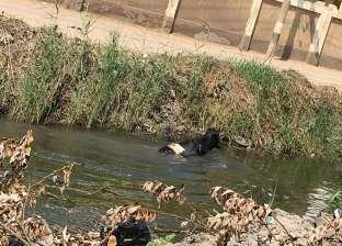 """صور.. """"بقرة"""" تقفز في مياه ترعة هربا من سكين جزار بكفر الشيخ"""