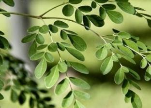 «المورينجا» شجرة معجزات تحمل 7 فوائد صحية مذهلة: موجودة داخل مصر