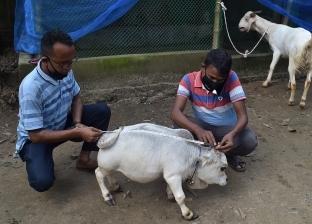البقرة المعجزة.. الأقل وزنا وطولا في العالم ومرشحة لدخول جينيس «فيديو»