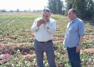 الزراعة: ارتفاع مساحات زراعات القطن إلى 182 ألف فدان