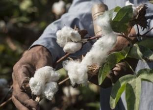 وزير الزراعة يفتتح موسم القطن.. وتوقعات بتراجع زراعته 59%