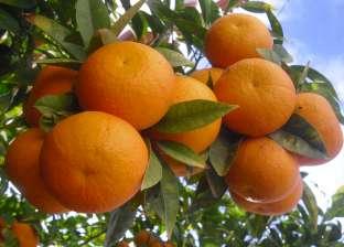 الفاكهة تستقر.. والبرتقال البلدي يسجل 3.5 جنيه للكيلو