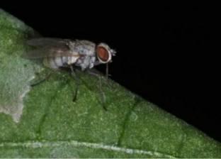 دراسة: الذباب والصراصير غذاء جيد وآمن للإنسان والحيوان