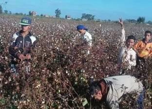 جمعيات كفر الشيخ الزراعية تسوق 283 ألف قنطار قطن قبل انتهاء الموسم