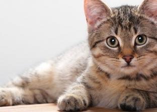 «تحسن المزاج وتسبب السعادة».. فوائد العمل من المنزل مع القطط