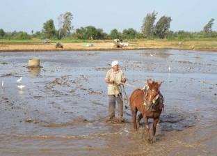 """""""زراعة المنوفية"""" تزيل زراعات الأرز المخالف على مساحة فدانين"""