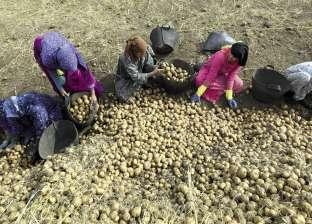 """""""الإحصاء"""": 31% انخفاضا في أسعار البطاطس خلال ديسمبر الماضي"""
