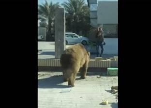 بالفيديو| دب هارب يتجول في شوارع البصرة العراقية