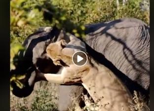 فيديو.. فيل ينجو بأعجوبة من هجوم أسد في محمية طبيعية