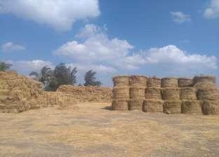 """""""شؤون البيئة"""": جمع 26 ألف طن قش أرز بـ50 موقعا في كفر الشيخ"""