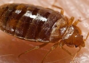 """احذر بق الفراش.. تعرف على سبب عودة """"الحشرات المؤذية"""" للمنازل"""
