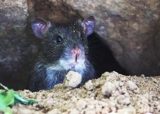 دراسة: يجب قتل الفئران حول العالم لإنقاذ الحيوانات المهددة بالانقراض
