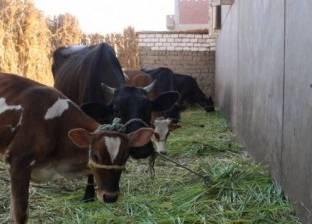 """""""بيطري الوادي الجديد"""" يواصل تحصين الماشية ضد مرض الحمى القلاعية"""