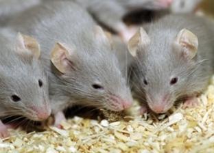 بعد عقرها المئات في المنوفية.. أمراض قاتلة تنقلها الفئران للبشر