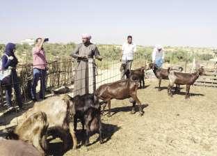 مباحث الوادي الجديد تكثف جهودها للقبض على مجهولين سرقوا 60 رأس ماشية