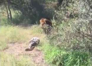 """بالفيديو  """"لحظات مروعة"""".. أسد يهاجم صاحب حديقة حيوان"""