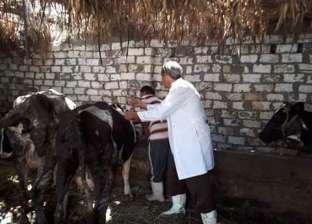 رؤوس الماشية تهرب من قبضة حبال رجال الوحدة المحلية في دمياط
