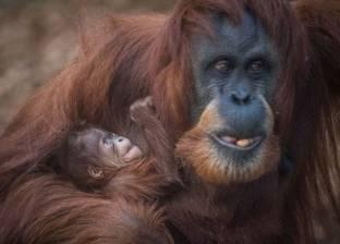 """بالفيديو  لقطات رائعة لولادة القردة """"إيما"""" المهددة بالانقراض"""