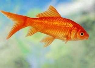 صياد يعثر على سمكة نادرة ذهبية اللون عمرها 100 عام في أمريكا