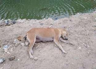 الكلاب الضالة خطر يهدد أهل العريش..مواطن: جروا ورايا أنا وبنتي المريضة
