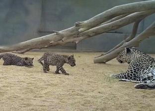 ولادة صغيرين جديدين من النمور العربية المهددة بالانقراض