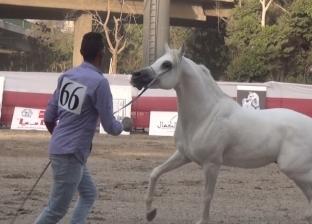 فيديو| قوام ممشوق ورقبة طويلة.. مسابقة ملكة جمال الخيول لحفظ تراث مصر