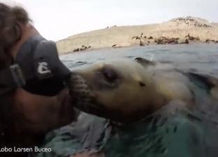 بالفيديو| أنثى أسد البحر تقبل غواص مخضرم