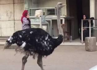 بالفيديو| نعامة تتجول في شوارع الجيزة.. ومغردون: «كأنه دكر بط وماشي»