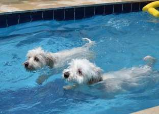 """""""وللكلاب حظوظ"""".. حمام سباحة وغرف 5 نجوم للحيوانات الأليفة بالغردقة"""