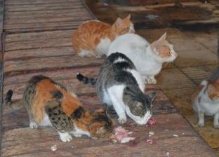 أطعمها فأكلت من جسده.. بيطري يوضح «هل تهاجم القطط المواطنين؟»