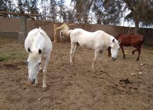تصدير خيول مصرية للأردن بعد توقف 10 سنوات