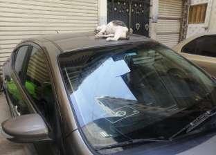 الراحمون يرحمهم الله.. نامت القطة فوق سيارته فذهب لعمله بـ«تاكسي»