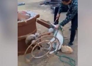بالفيديو| عمال صينيون يذبحون كلابا تمهيدا لأكلها في حلوان