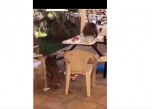 بالفيديو| قرود جائعة تقتحم جامعة وتختطف حقائب الطالبات