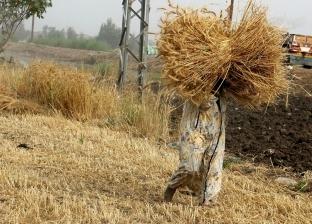 """""""زراعة الإسكندرية"""" تبدأ موسم حصاد القمح بـ3 آلاف و392 فدانا"""