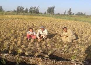 النجاري: لا تخفيض لأسعار الأرز في الاسواق والطن سيرتفع بقيمة 350 جنيه