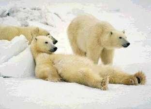 نفوق آخر دب قطبي في كوريا الجنوبية