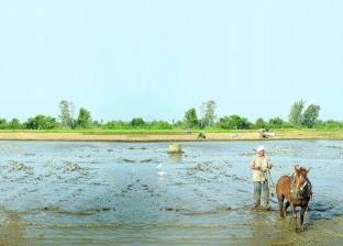 زراعة أكثر من 7 آلاف فدان من محصول الأرز في كفر الشيخ
