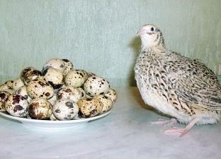 بيض السمان بديل «البلدى»: صحى والواحدة بـ«50 قرشاً»