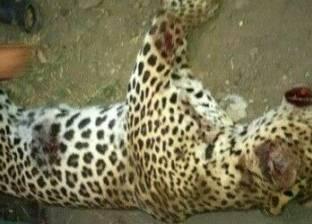 خبراء الحياة البرية: «السيرك القومى» أكبر مركز للاتجار غير الشرعى.. ولدينا 17 مزرعة لـ«الحيوانات المفترسة» تضم 700 أسد