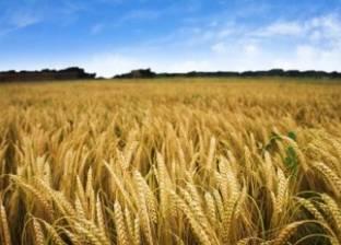 """فلاحو المنيا: خفض أسعار توريد القمح """"هيخرب بيوتنا"""".. والحكومة تخالف تعليمات الرئيس"""