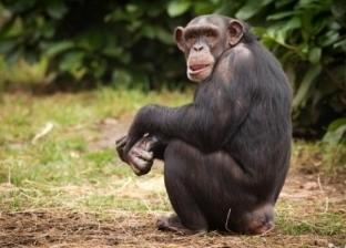 دراسة: الشمبانزي اليتيم يعاني من مشكلات مدى الحياة
