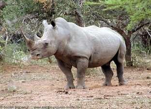 """نفوق """"زيزي"""" آخر أنثى وحيد قرن أبيض في الشرق الأوسط بحديقة الحيوانات"""
