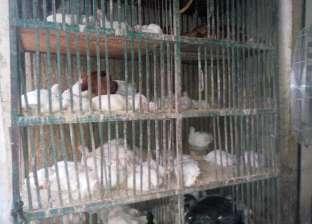 إنتاج الدواجن فى مصر يستخدم مواد ضارة ويحتاج إلى إعادة نظر
