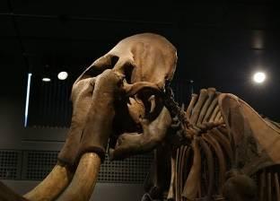 اكتشاف بقايا فيل عمره 3 ملايين سنة في الجزائر